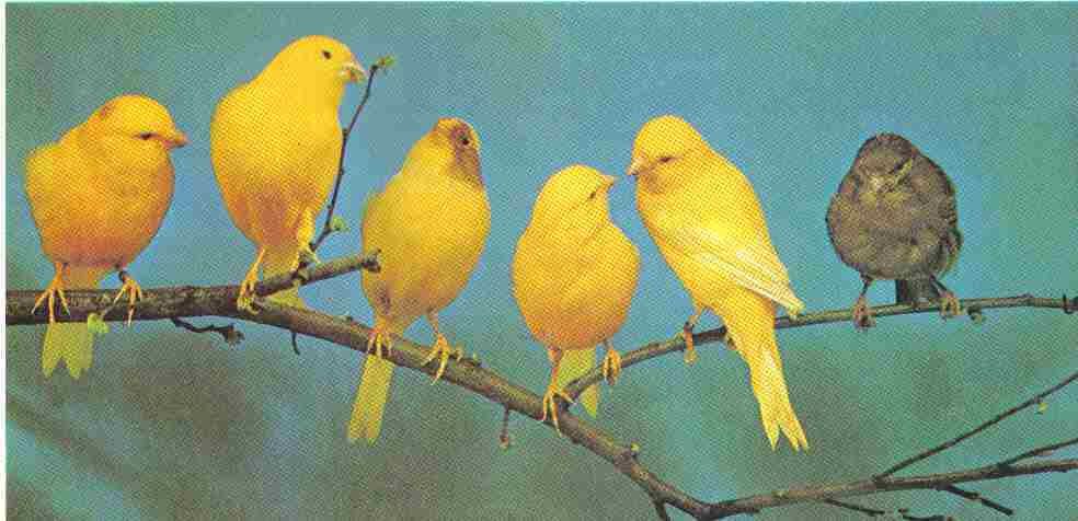 Your pet canary s health